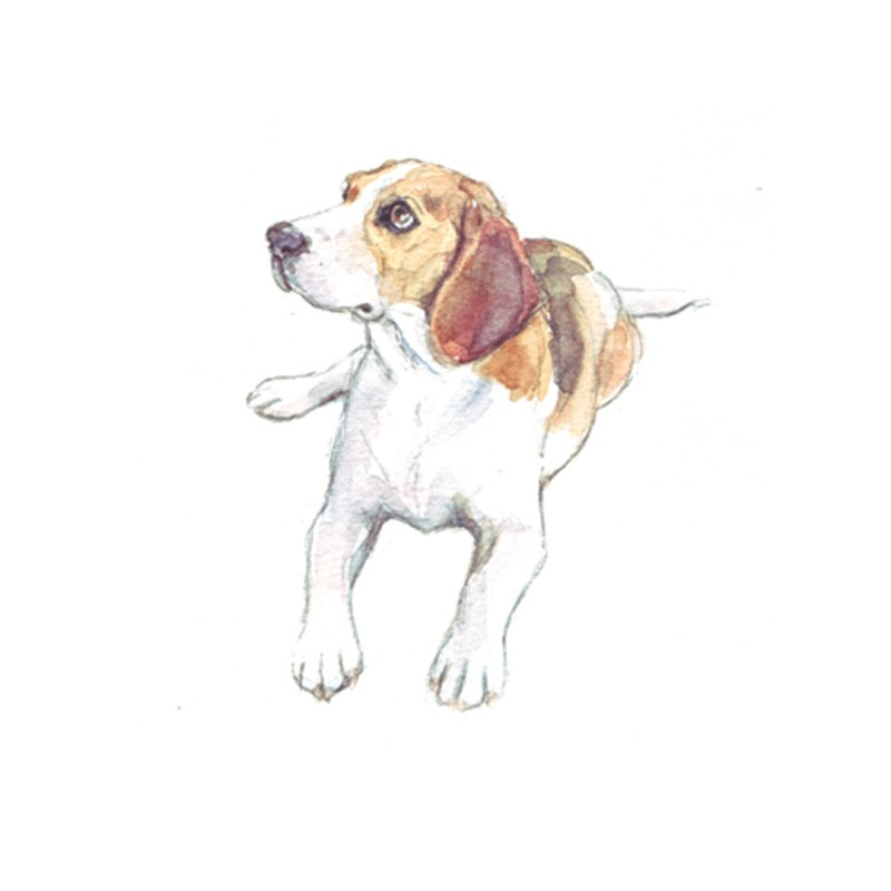 Beagle, watercolour illustration