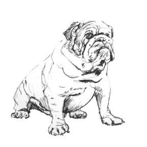 British Bulldog pen drawing