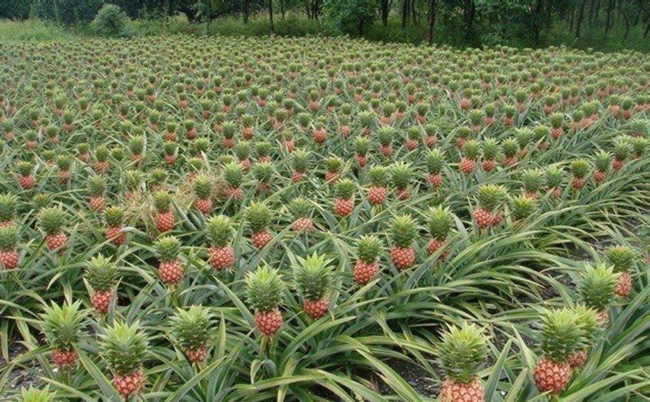 Pineapple-fields