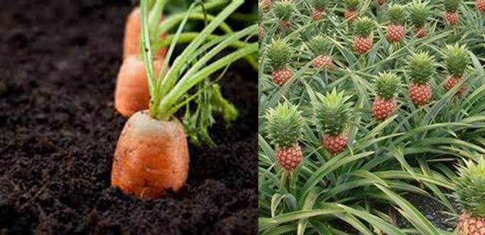 Pineapples don 39 t grow in the ground kathleen 39 s blog for How do i plant a pineapple top