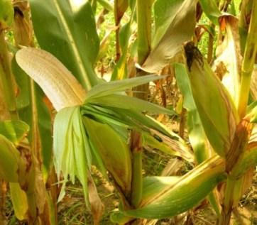 banana-cob-field-copy