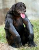 gorilla-dog-copy