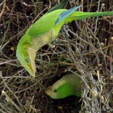 parakeets-lizard-copy