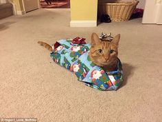 Cat wrapped up like a present
