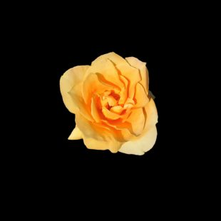international-womens-day-rose