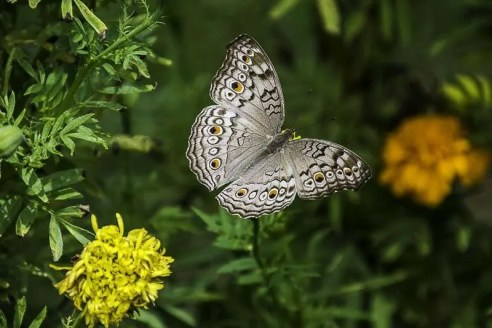 A gray and yellow butterfly amidst flowers.