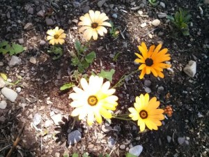 Yellow daisy-like flowers spotlighted by the sun.