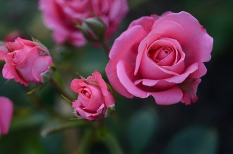 rose-615268_640