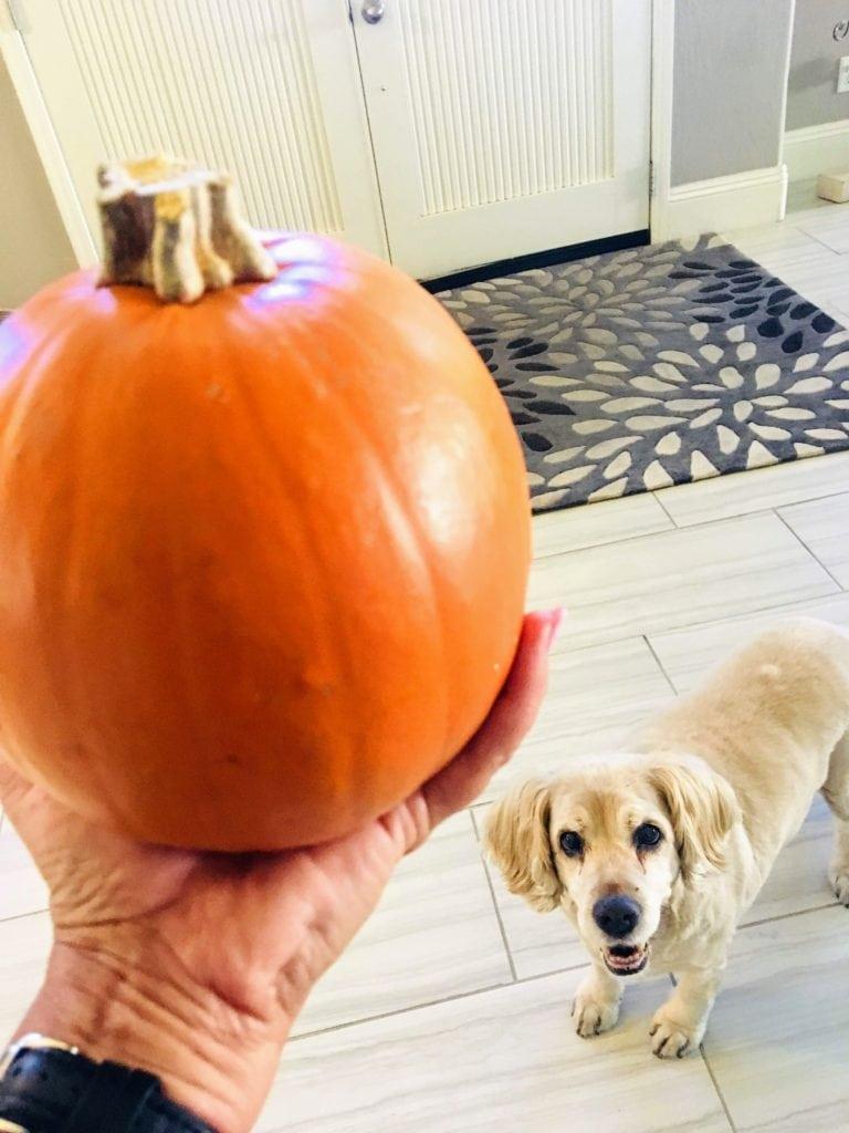 pumpkin pie pumpkin