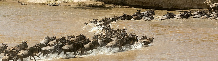 Wildebeest Crossing time