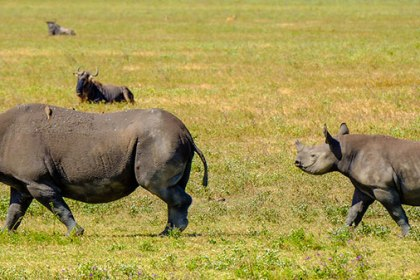 Baby Rhino Saved from hungry hunting lions by heroic safari guides