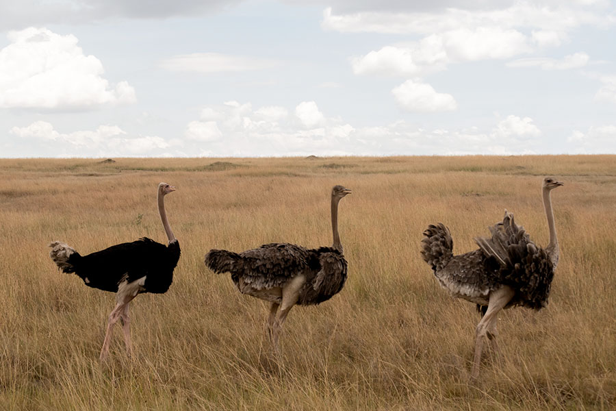 Ostrich in the Endless Plain