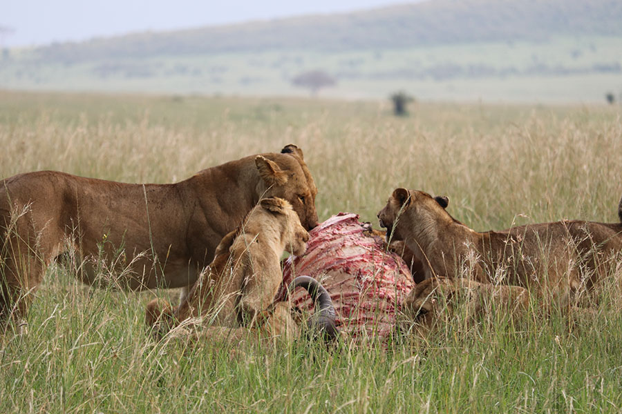 Lion killing in Serenegti
