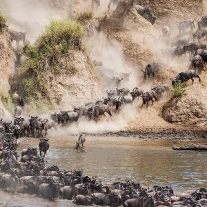 Wildebeest Crossing Safari