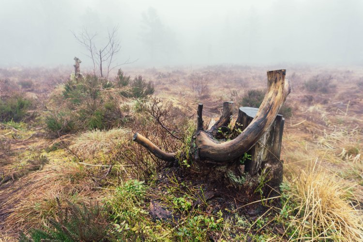 Image of gnarly tree stump in a marshy grassland with dense fog on the Pulpit Rock hike in Norway