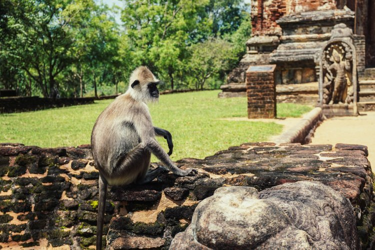 Image of a grey langur monkey sitting on the wall of the ruins in Polonnaruwa Sri Lanka