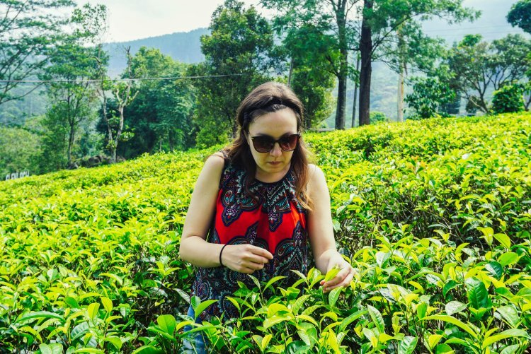 Image of tea picking at tea plantation in Nuwara Eliya Sri Lanka
