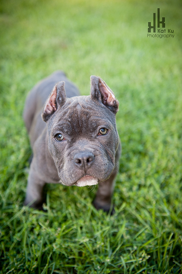 Michigan American Bully-01