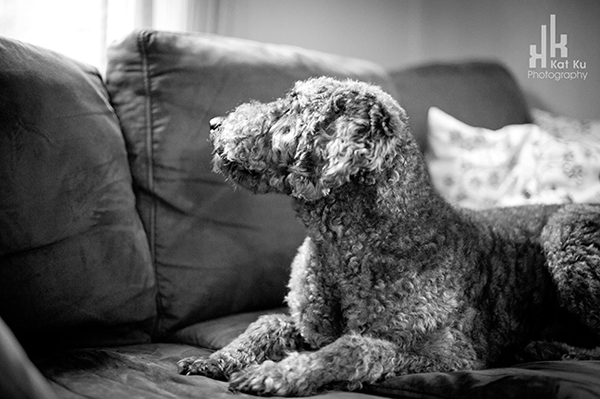 Ellie-the-Gray-Labradoodle_28