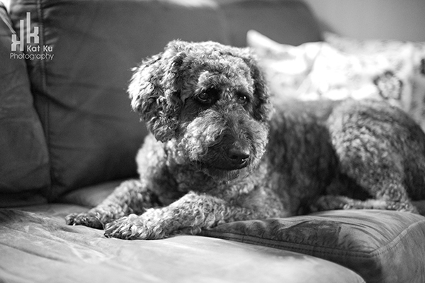 Ellie-the-Gray-Labradoodle_29