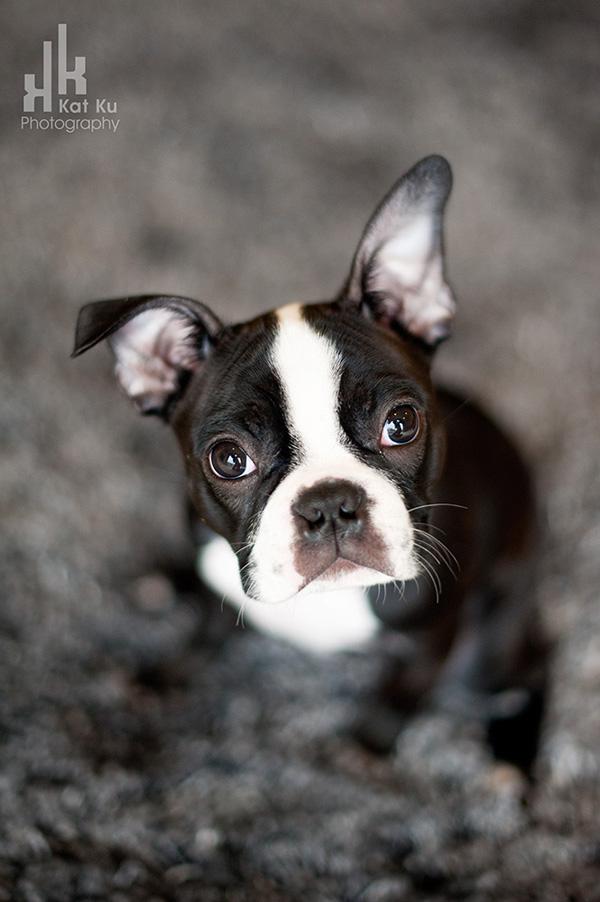 Kat-Ku-Photography_Boston-Terrier-Puppy01