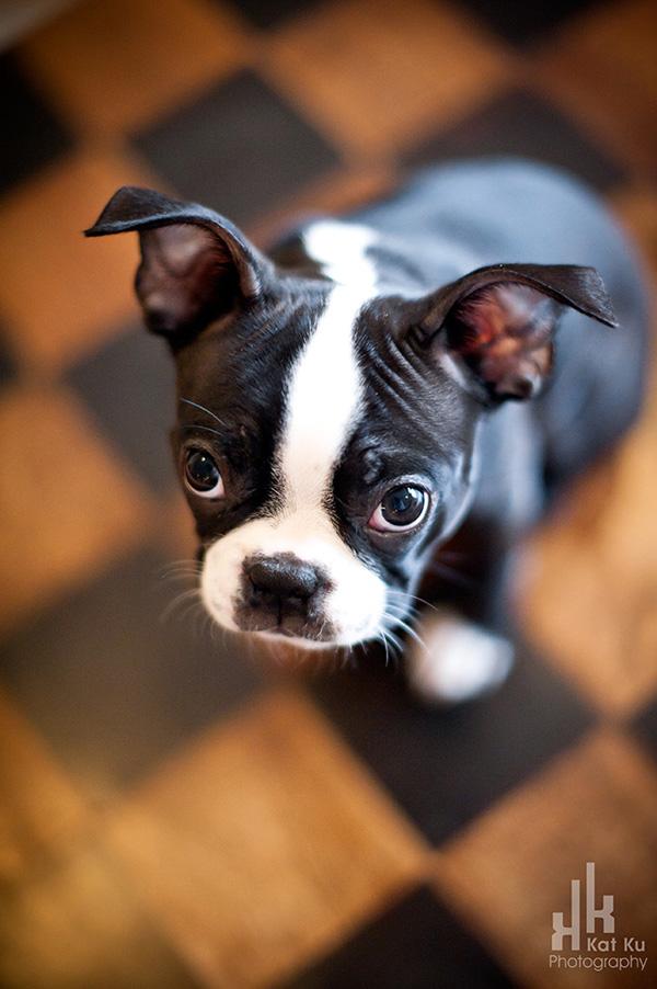 Kat-Ku-Photography_Boston-Terrier-Puppy05