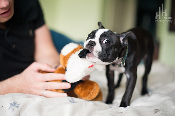 Kat-Ku-Photography_Boston-Terrier-Puppy14