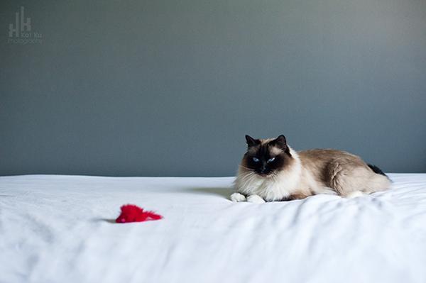 Kat-Ku-Photography_Achilles_Ragdoll-Cat_01