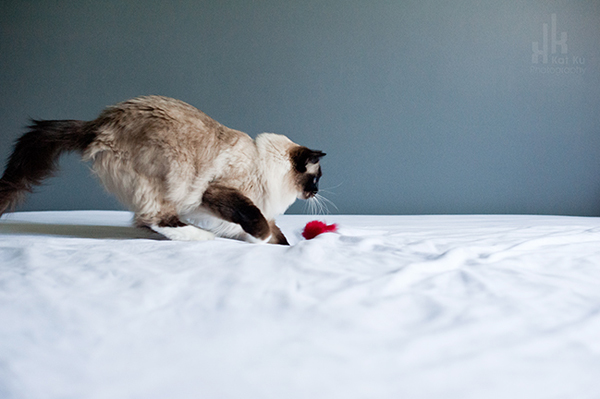 Kat-Ku-Photography_Achilles_Ragdoll-Cat_03