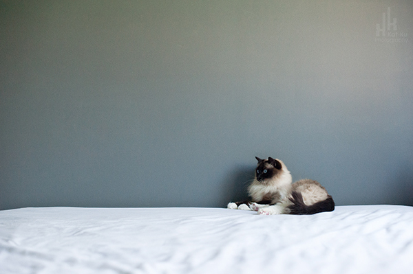 Kat-Ku-Photography_Achilles_Ragdoll-Cat_19