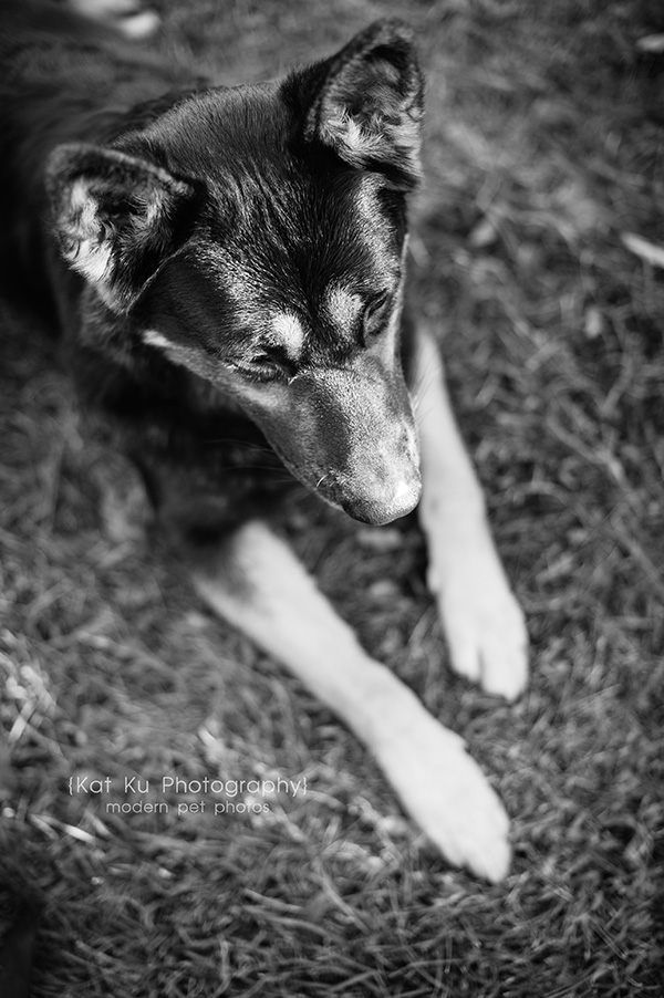 Kat Ku Photography_Bentley_German Shepherd_17