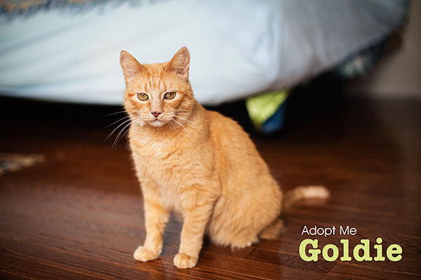 Kat Ku Photography_Adopt Goldie the Orange Cat_03