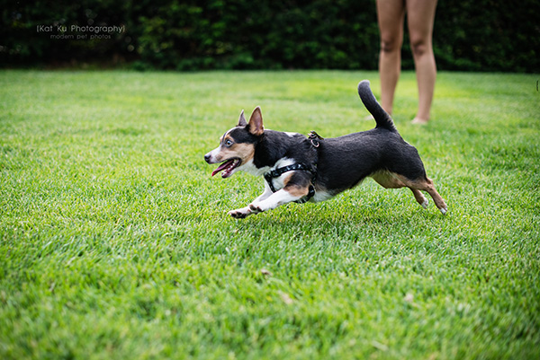Kat Ku Photography_Dasher the Corgi Mix_10