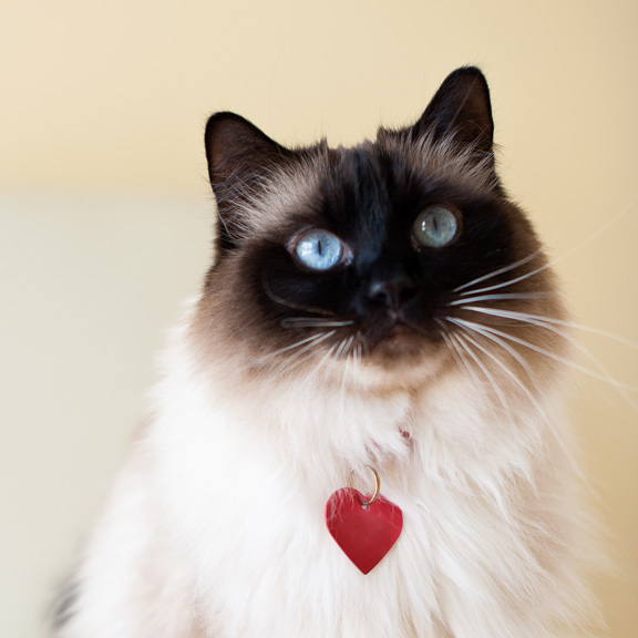 Kat Ku Photography - Achilles Seal Mitted Ragdoll