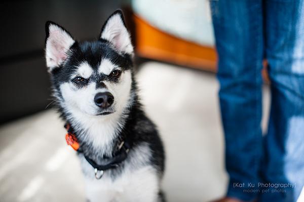 Kat Ku_Troy Pet Photos_Alaskan Klee Klai_04