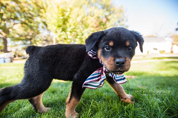 Kat Ku_Gia Rottweiler Puppy_15