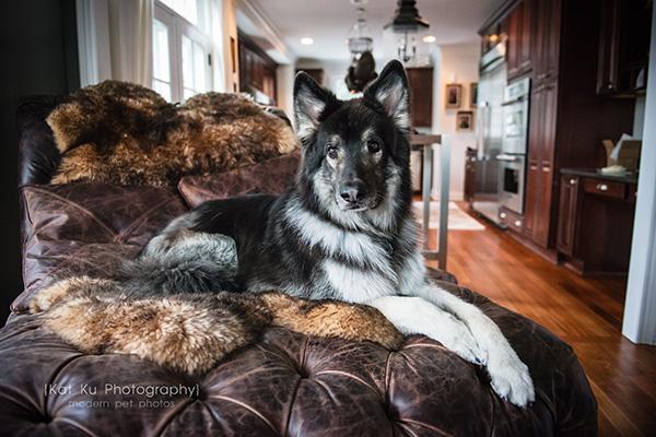 Kat Ku_Royal Oak_Shiloh Shepherds_Pug_14