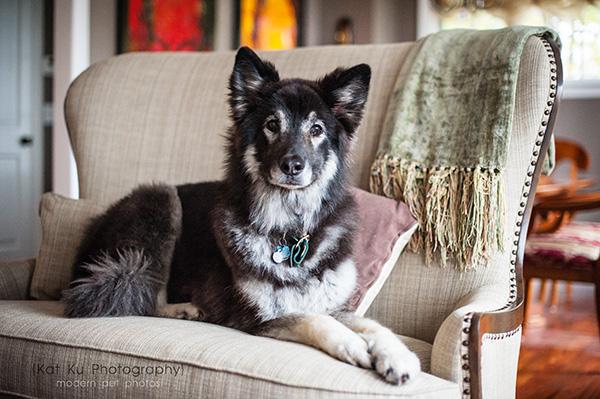 Kat Ku_Royal Oak_Shiloh Shepherds_Pug_22