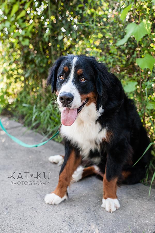 Kat Ku_Bernese Mountain Dog_Detroit Pet Photography_12