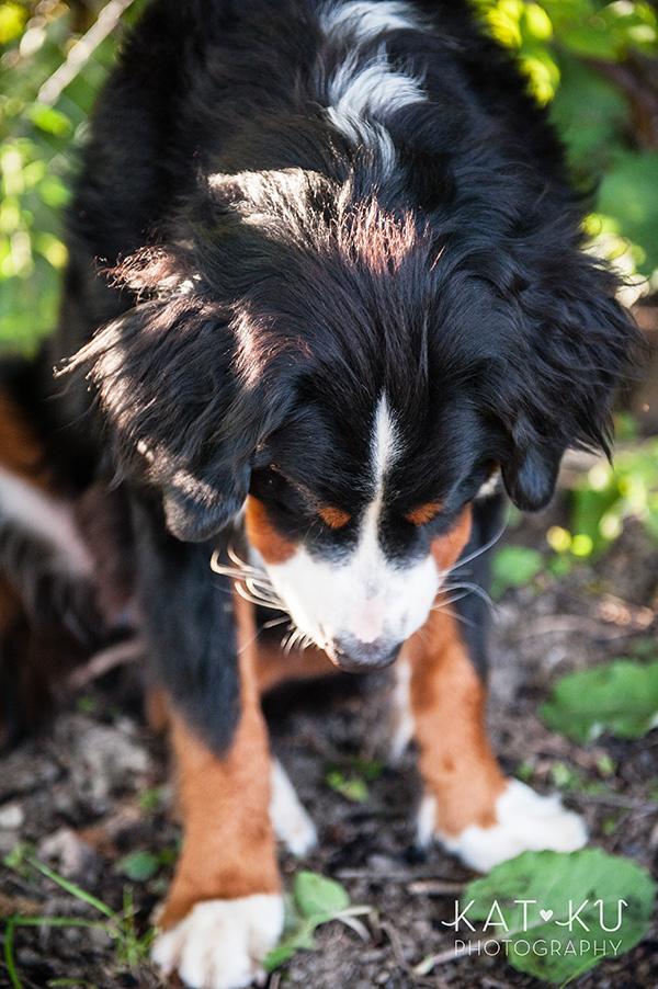 Kat Ku_Bernese Mountain Dog_Detroit Pet Photography_14