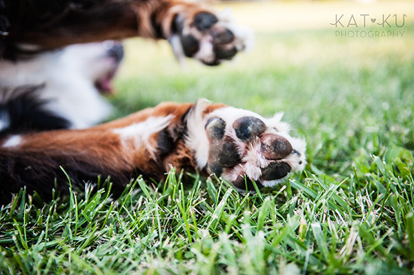 Kat Ku_Bernese Mountain Dog_Detroit Pet Photography_20
