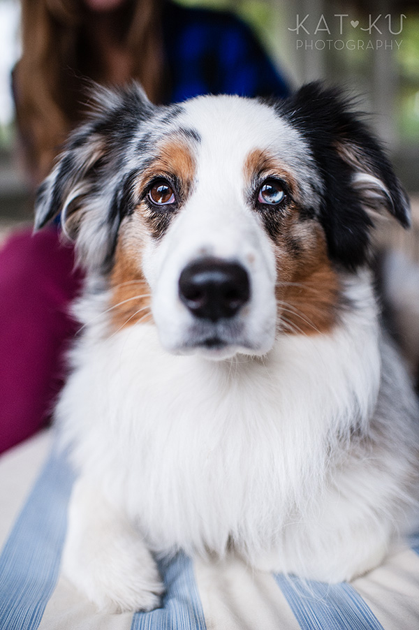 Kat Ku Photography - Ivan Australian Shepherd Royal Oak Michigan_01