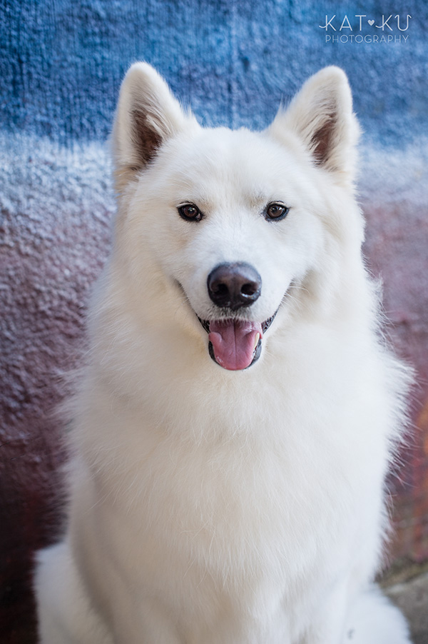 Kat Ku_Thor Samoyed_Pet Photography_10