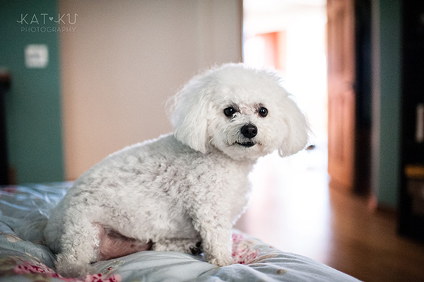 All Rights Reserved_Kat Ku_Chicago Pet Photography_Snowball_10