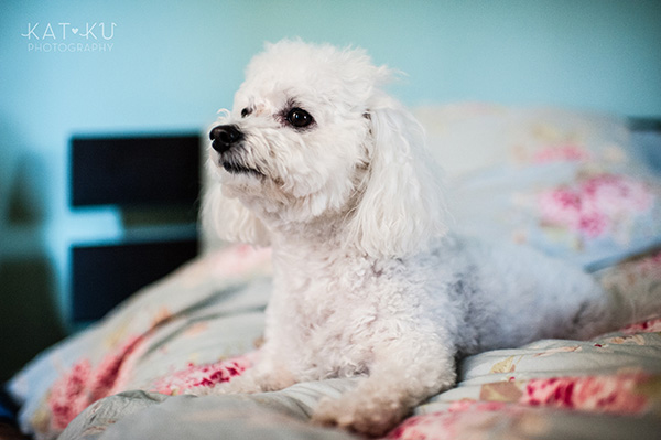 All Rights Reserved_Kat Ku_Chicago Pet Photography_Snowball_11