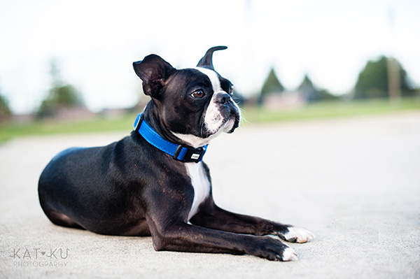 All Rights Reserved_Kat Ku_Franklin Boston Terrier_17