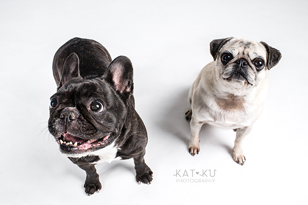 Kat Ku Photography - Cosmo Rah Frenchie Pug_16