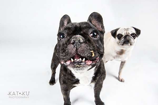 Kat Ku Photography - Cosmo Rah Frenchie Pug_20