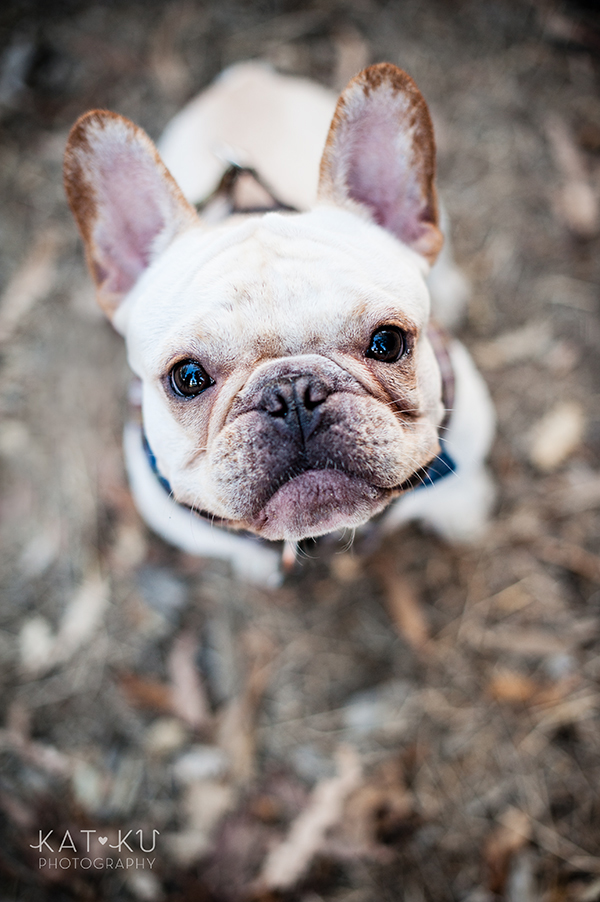 Kat Ku_San Francisco Pet Photography_Bowser_Frenchie_01