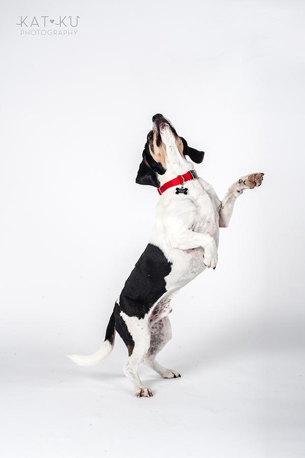 Kat Ku Photography - Jack the Beagle_08